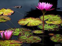 Flower still water