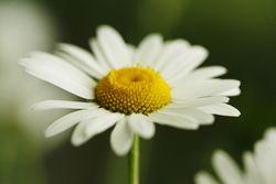 Suzy's daisy