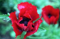 Poppies by clayton