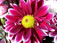 Purple_flower_2