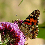 Painted_lady
