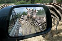 Zebra_momentjpeg_3