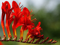 Crocosmia_by_algojpeg